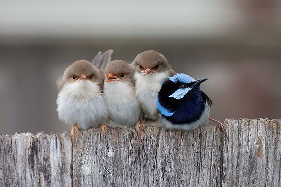 """Fairy Wrens -- """"I go to nature to be soothed and healed, and to have my senses put in order.""""  ~John Burroughs"""