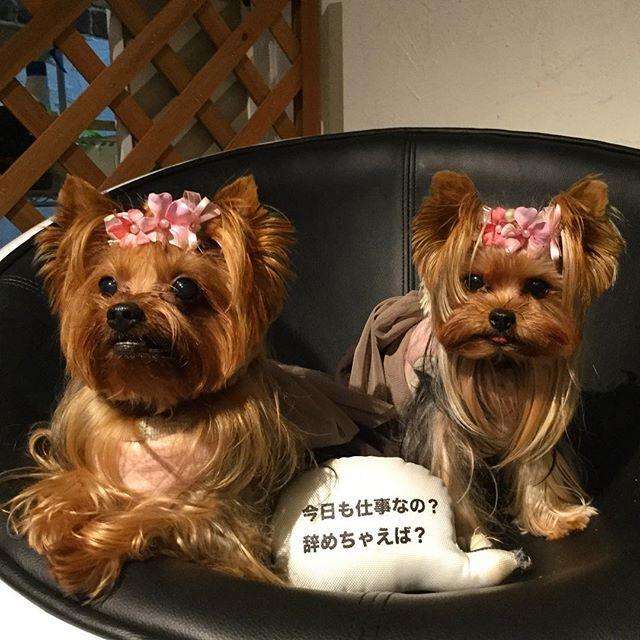 . お留守番の時 こんなふうに思っているのでしょうか…😳💦 . . 🎀の似合うとってもかわいいマロンちゃんmama @w202nao  さんから バトンを 受け取りました❣️ . . 【犬の日バトン】 #動物愛護 #世界平和 のハッシュタグもいれるみたいです! . 【@sudo_dog】さんのページから 「動物愛護管理法」に署名することができるみたいですょ . 犬・猫好き動物好きの方は、 是非ともお願いいたします。 . mamaさんの動物愛が皆さんにつたわりますように… . . ずっと一緒にいることが 動物愛とは 思いませんが  この吹き出しを 思い出しました😅 . #動物愛護 #世界平和 #11月1日 #犬の日バトン ##犬の日 #バトン #ヨークシャテリア #ヨーキー #愛犬 #多頭飼い #ずっと一緒 #仕事 #仕事辞める