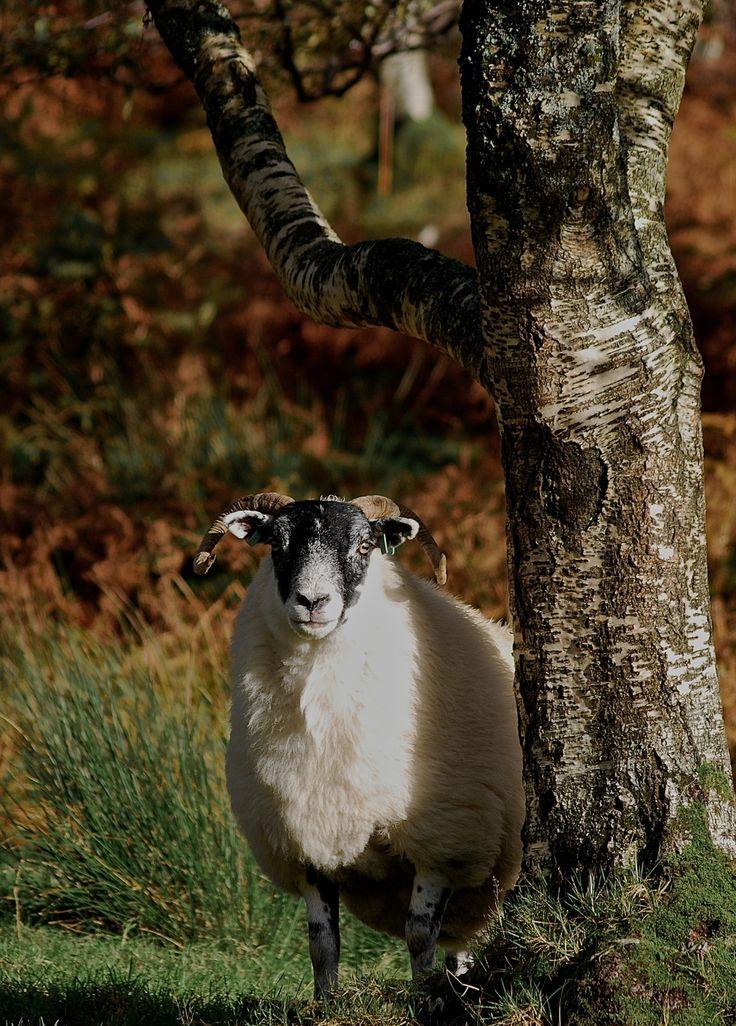 Sheep. Isle of Mull, Scotland.