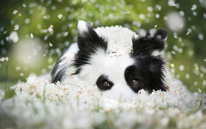Border Collie, Puppy, dog, cute animals, green grass