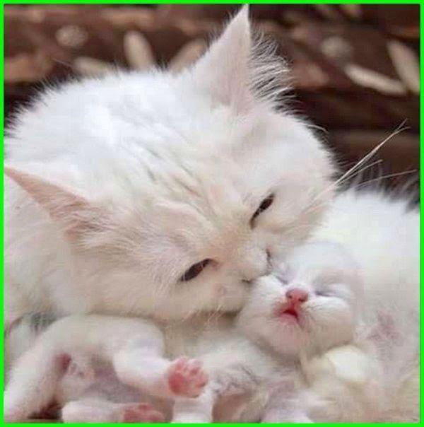 31 Gambar Kucing Anggora Lucu Dan Imut Banget Unduh 67 Gambar Kucing Imut Dan Lucu Imut Gratis Gambar Download 30 Lebih Ga Di 2020 Gambar Kucing Lucu Kucing Lucu
