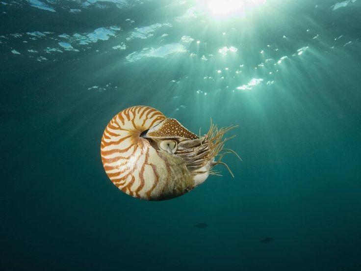 Save the nautilus!