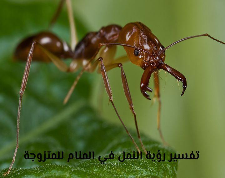 تفسير رؤية النمل الاحمر والاسود في المنام للمتزوجة والحامل موقع مصري Ant Species Pest Control Services Cockroach Control