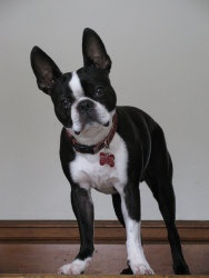 Leo is an adoptable Boston Terrier Dog in Menasha, WI. Six year old Leo is your typical Boston: full of energy and curious in nature. Leo loves to run and play with our other dogs. He tends to be a ca...