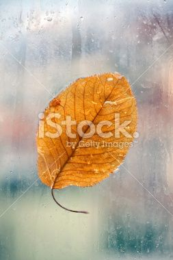 Cherry leaf and raindrops Royalty Free Stock Photo