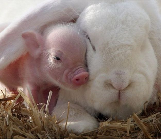 This piglet and this bunny cuddling. this whole article is wonderfully Baby