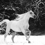 White Horse Running In Snow Free Hd Wallpapers - http://www.freehdwallpapershq.com/white-horse-running-in-snow-free-hd-wallpapers/