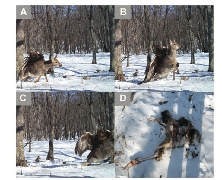 Golden Eagle Attacks Deer, A Photo Of An Epic Confrontation - A camera trap captures a Golden Eagle attacking a young sika deer at Lazovskii State Nature Reserve in the southern Russian Far East.
