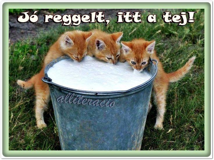 vicces, humoros, aranyos, állatok, képek, cicák, tej, cuki,