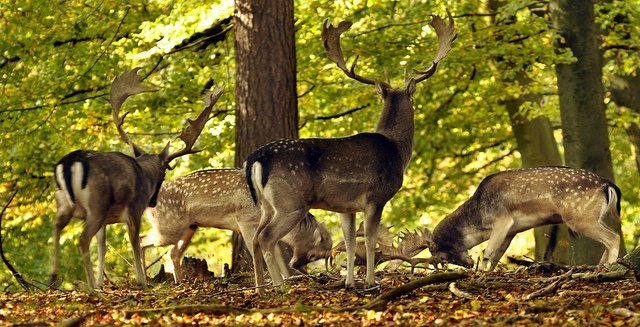 Beautiful light and lots of action on a lovely sunday walk in Dyrehaven just north of Copenhagen. These fallow deer boys are eager to test strength this time of year