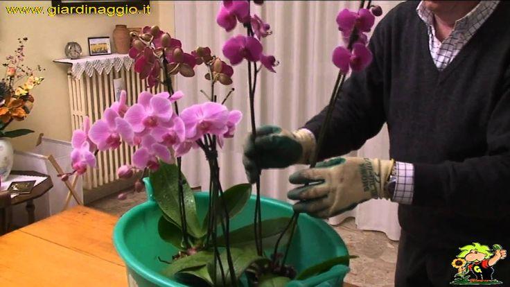 coltivazione delle orchidee