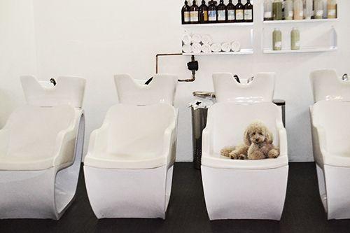 poodle in salon