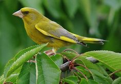 Greenfinch of Britain and Ireland The Greenfinch (carduelis chloris) is one of the more familiar birds of the countryside and gardens of the UK and Ireland. They were some of the most frequent visitors to bird feeders until recently.