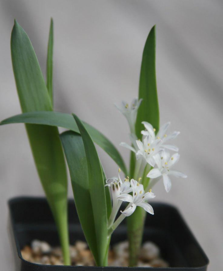 Polyxena maughanii
