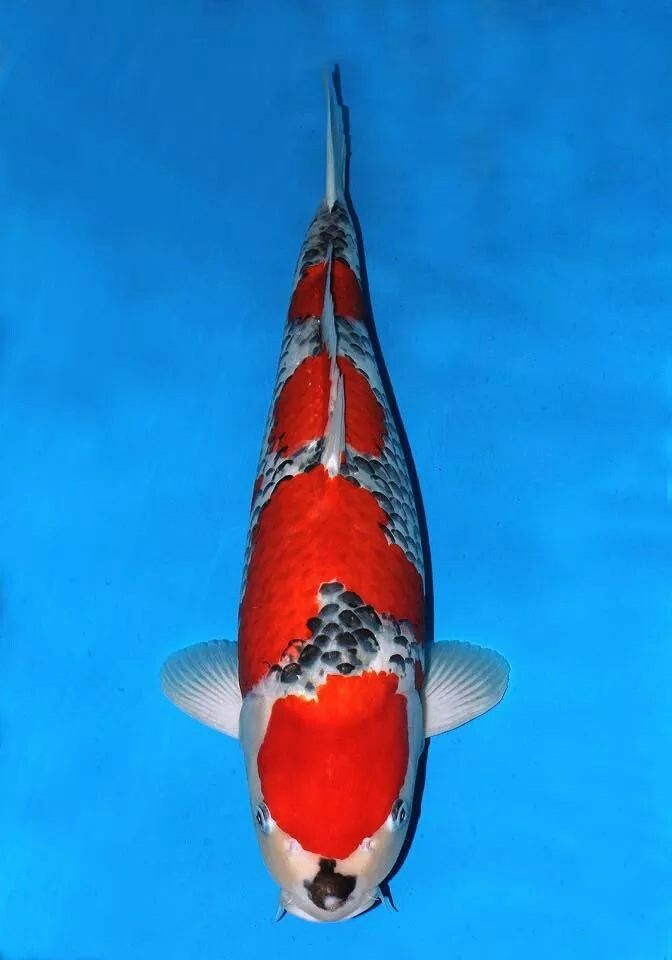 imperial goldfish - photo #46