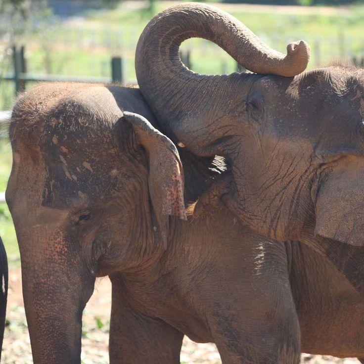 Chinese Whispers  #elephants #trunks #love #beauty #oneworld #animalwelfare #animalrights #protection #hope #survival #wildlife #environment #sustainability #conservation #protectthespecies #srilanka #chinesewhispers #secrets #anelephantneverforgets #talking