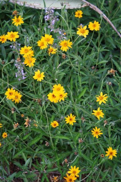 26 best landscaping  u0026 pollinator garden  native plants  images on pinterest