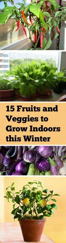 Prepossessing  Best Ideas About Winter Vegetable Gardening On Pinterest  With Interesting  Fruits And Veggies To Grow Indoors This Winter  With Appealing Bills Covent Garden Also Unique Garden Sculptures In Addition Garden Chair Hire And Garden Lighting Tips As Well As Homes And Gardens Magazine Subscription Additionally Garden Gate Spring From Pinterestcom With   Interesting  Best Ideas About Winter Vegetable Gardening On Pinterest  With Appealing  Fruits And Veggies To Grow Indoors This Winter  And Prepossessing Bills Covent Garden Also Unique Garden Sculptures In Addition Garden Chair Hire From Pinterestcom