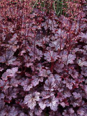 Heuchera 'Plum Pudding', rödbladig alunrot. Lättodlad växt som trivs på väldränerad och kalkrik jord i sol-halvskugga. Blommar i juni-juli med små vita vippor på höga blomstjälkar. Bildar täta rosetter av mörkröda blad . Höjd ca 50 cm.