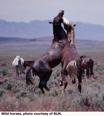 Wild Mustangs in the Utah West Desert