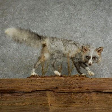 This gorgeous fox taxidermy mount is for sale @thetaxidermystore.com