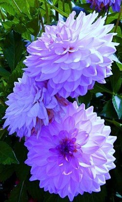 Breathtaking Dahlias