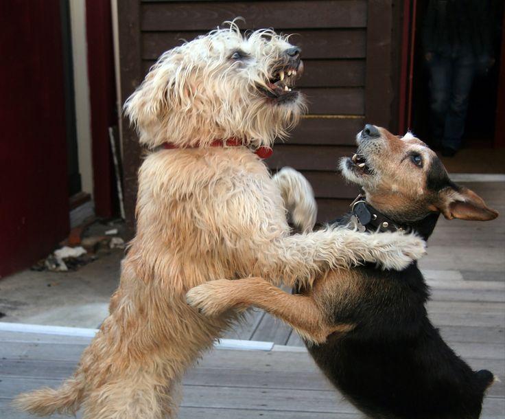 Vous savez que votre chien adulte est mal socialisé quand il a des réactions excessives. Tout ce qui est excessif chez le chien trahit chez lui une certaine imprévisibilité. Que ce soit dans la joie ou dans l'extrême inverse, une réaction excessive face à un chien (ou à une personne), n'est pas bon