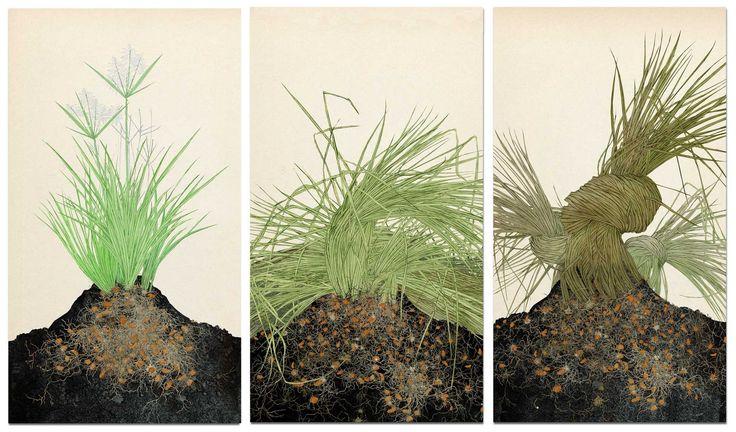 Cyperus esculentus, junciana avellanada. chufa, fases de crecimiento, parte dos, dibujo