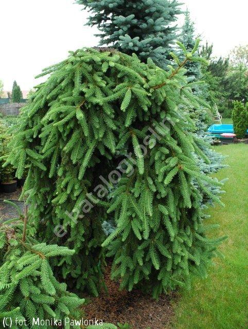 świerk pospolity 'Inversa' - Picea abies 'Inversa'