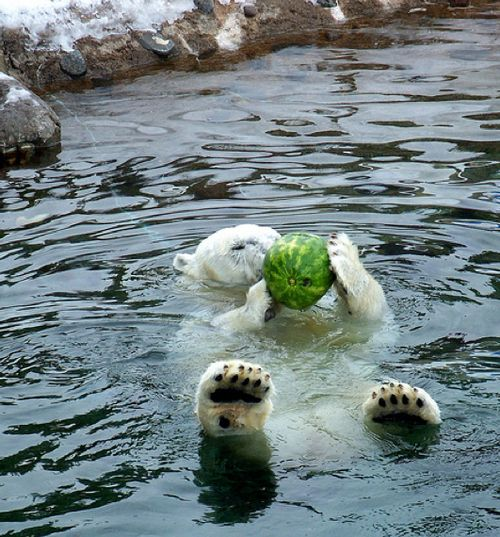 I'm pretty sure that watermelons are not part of a natural polar bear diet