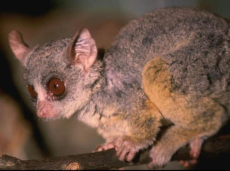 marsupiales pequeños - Buscar con Google