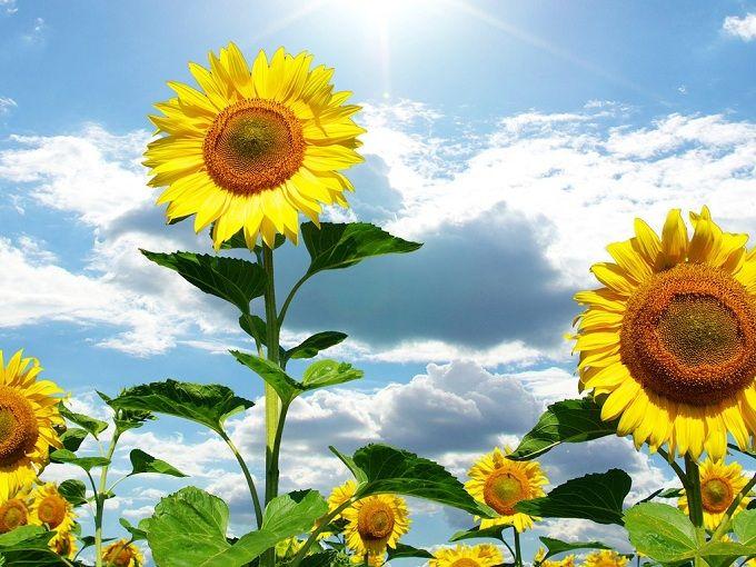 Những hình ảnh hoa hướng dương đẹp nhất thế giới 2019. Hình ảnh Hoa Mặt Trời đẹp nhất thế giới. Hình ảnh hoa hướng dương đẹp nhất 2019.   풍경화, 해바라기, 예술