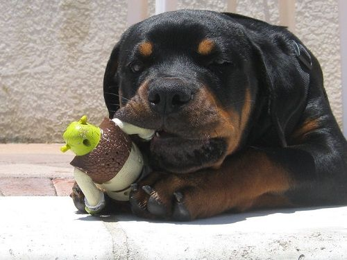 Rottweiler Rescues In The USA | RottweilerHQ.com