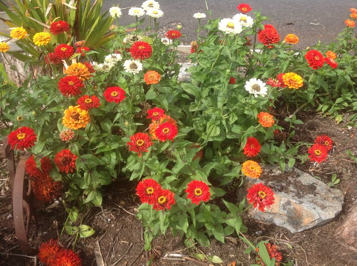 These self seeded gold medal zinnias have been awash with Monarch butterflies all summer