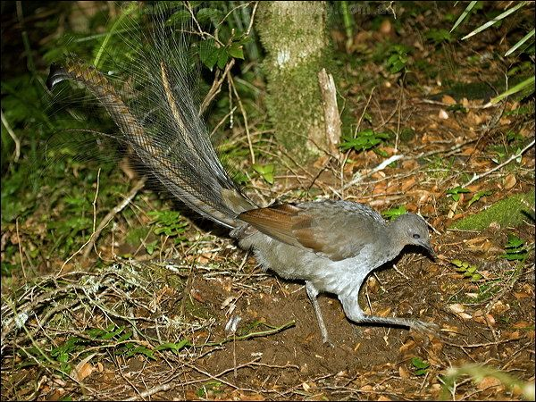 Male Australian Lyre Bird. It gets its name from its tail which is shaped like a Lyre,an old musical instrument.