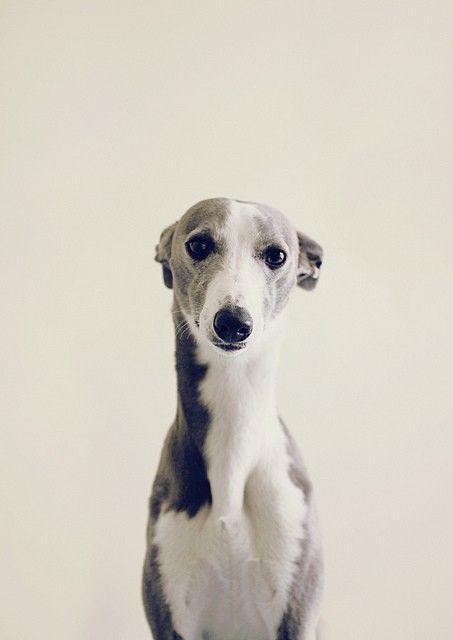 whippet wuv  | #Dogs | #McCoryInteriors | #MI