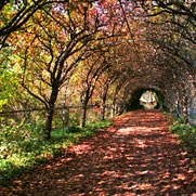 This is a pear arbour driveway at Foxglove Spires Garden in Tilba Tilba Australia. Absolutely beautiful!