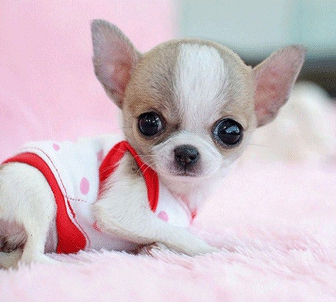 Smallest+Dog+in+the+World | This is the mini gallery of Smallest Dog In The World 2014. Follow the ...