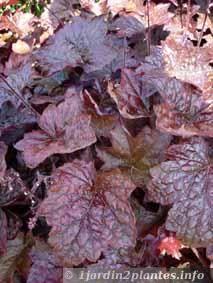 1000 id es sur le th me heuchera sur pinterest plantes for Plante grasse exterieur vivace