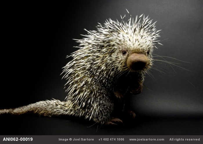 """The  Brazilian porcupine (Coendou prehensilis) is an arboreal porcupine with a spineless prehensile tail with an upturned tip and 4 long clawed toes well adapted for gripping branches. It measures up to 40"""" in length, half of that being tale. If caught, it rolls up in to a ball. via http://en.wikipedia.org/wiki/Brazilian_Porcupine  Photo by joelsartore. #Brazilian_Porcupine #Porcupine #joelsartore #wikipedia"""