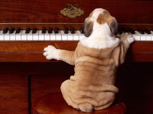 : Music, Animals, Bulldogs, The Piano, Pets, Play, Funny, Puppy