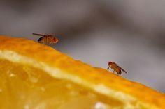 Fruchtfliegenfalle selbst machen