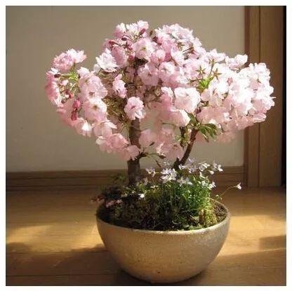 M s de 25 ideas incre bles sobre bonsais cerezo en - Como se cuida un bonsai ...