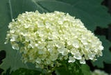 more incrediball info - needs part shade in the South, attracts butterflies, flowers start light green to white to slight green