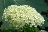 Incrediball hydrangea has an incredible flower head. Incrediball hydrangea has big white balls.
