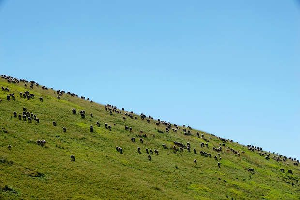 Pour lutter contre les attaques de loups, l'utilité des chiens d'alpages est de mieux en mieux démontréeLe chien de protection est redevenu la clé de voûte de l'équilibre entre troupeau et prédateur. En estive, il faut compter huit à dix patous pour 1 500 à 2 000 brebis.