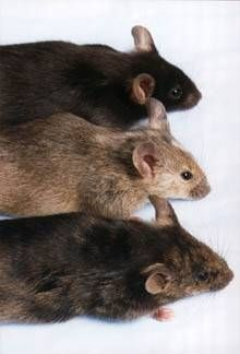 25 unique getting rid of mice ideas on pinterest mice repellent how to get rid of mice using mothballs ccuart Gallery