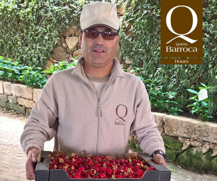 O senhor Manuel fez a primeira colheita de #Cerejas. Os nossos visitantes tem o privilégio de ser servidos em total consonância com o ciclo agrícola da Quinta.   #QuintadaBarroca #Cereja #Agroturismo #Origens_Restaurante #TurismoRural
