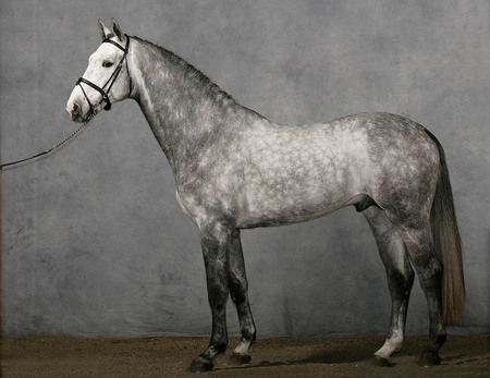 Dapple grey Anglo-Arab....... Could be a replica of White Lightning.