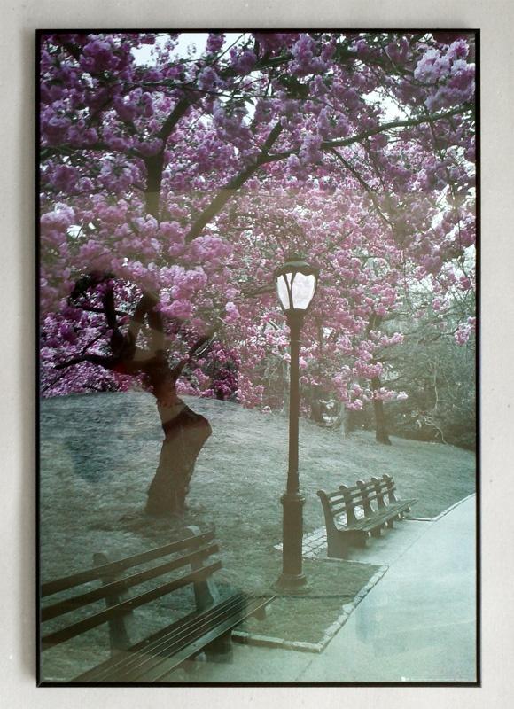 Central Park - Kwitnące Wiśnie - Nowy Jork - plakat w czarnej aluminiowej ramie